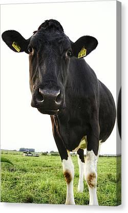 Magnificent Cows 3 Canvas Print