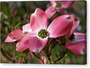 Canvas Print featuring the photograph Magnificent Dogwood Flower by Michele Myers
