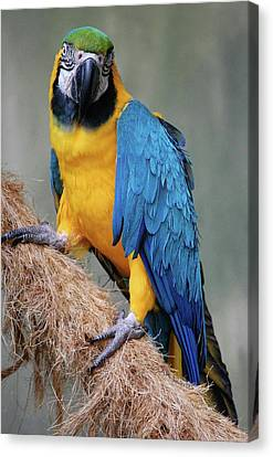 Magnificent Macaw Canvas Print by DigiArt Diaries by Vicky B Fuller