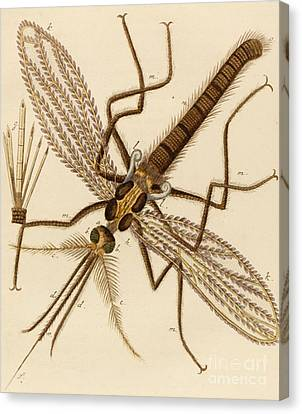 Magnified Mosquito Canvas Print