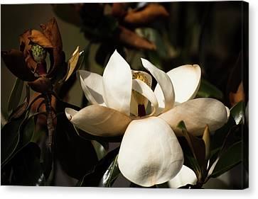 Magnolia Canvas Print - Magnolia 2 by Zina Stromberg