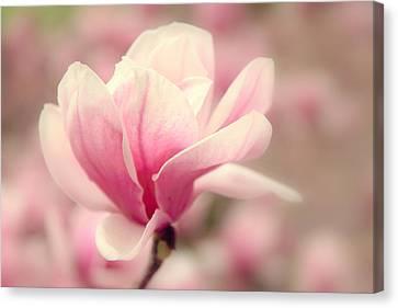 Magnolia Blossom Canvas Print by Jessica Jenney
