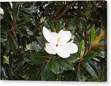 Magnolia Blossom Canvas Print by Linda Geiger