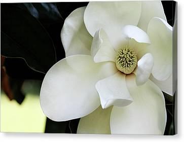 Magnolia Blossom Canvas Print by Stephanie Frey