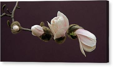 Magnolia Blossoms Canvas Print by Michael Peychich