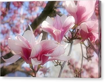 Magnolia Blossoms Canvas Print by Sandy Keeton