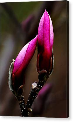 Magnolia Buds Canvas Print