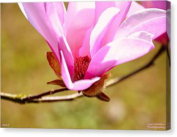 Magnolia Close Up Canvas Print by Lisa Wooten