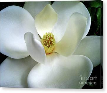 Magnolia Elegance Canvas Print by Patricia L Davidson