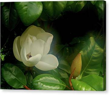 Magnolia Canvas Print by Evelyn Tambour