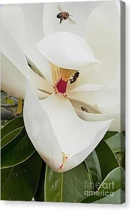 Magnolia Fans Canvas Print by Jasna Gopic