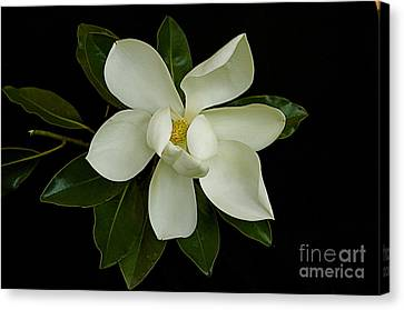 Canvas Print featuring the photograph Magnolia Flower by Nicola Fiscarelli