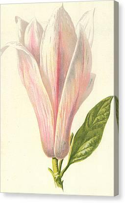 Magnolia Canvas Print by Frederick Edward Hulme