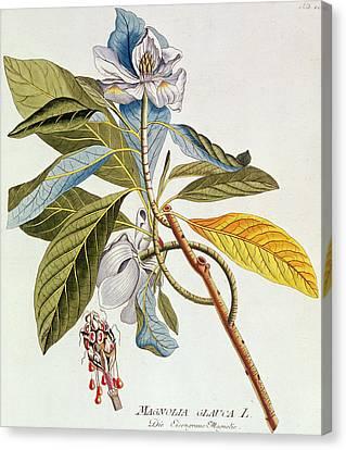 Magnolia Glauca Canvas Print by German School