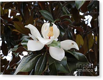 Magnolia Grandiflora With Leaves Canvas Print by Carol Groenen