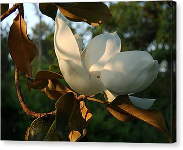 Magnolia Canvas Print by Heather S Huston