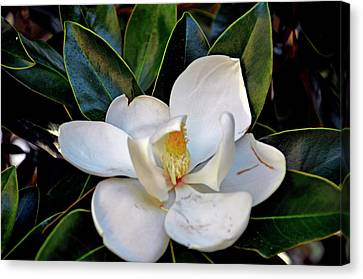 Canvas Print featuring the photograph Magnolia by Helen Haw