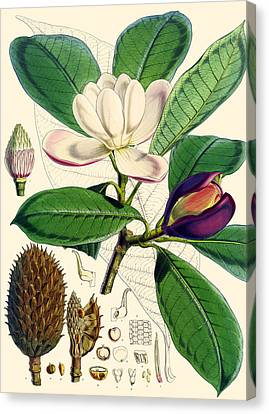 Magnolia Hodgsonii Canvas Print by Joseph Dalton Hooker
