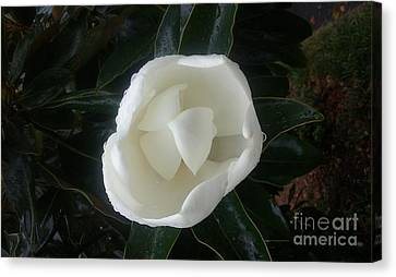 Magnolia In Rain Canvas Print