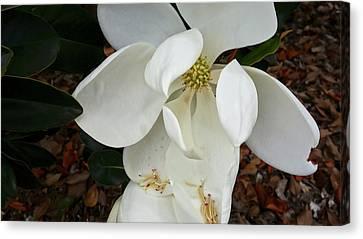 Magnolia Canvas Print by Matthew Bamberg