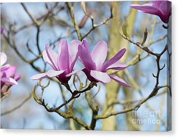 Canvas Print featuring the photograph Magnolia Serene Flowers by Tim Gainey