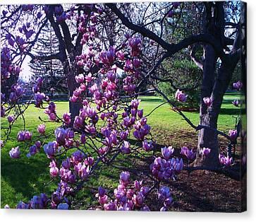 Magnolia Tree Gettysburg Pa Canvas Print by Eric  Schiabor