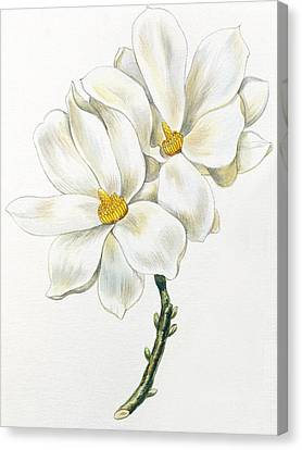 Magnolia Canvas Print by Unknown
