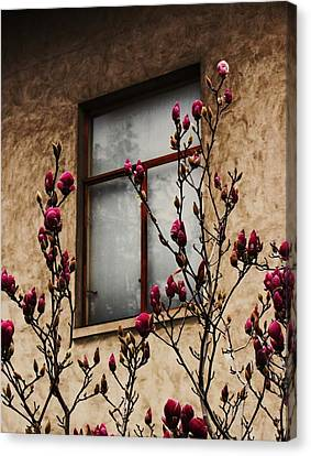 Magnolias Before Window Canvas Print by Amy Neal
