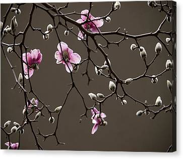 Magnolias In Bloom Canvas Print by Rob Amend