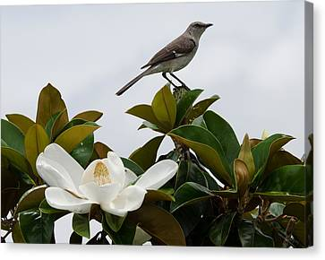 Magolia Bloom With Mocking Bird Canvas Print by Julie Cameron
