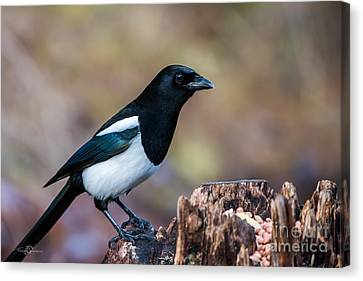 Magpie On The Stump Canvas Print by Torbjorn Swenelius