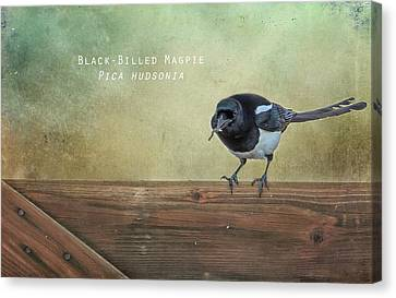 Black-billed Magpie Canvas Print - Magpie With A Worm by Belinda Greb