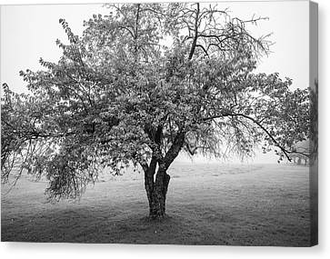 Canvas Print featuring the photograph Maine Apple Tree In Fog by Ranjay Mitra