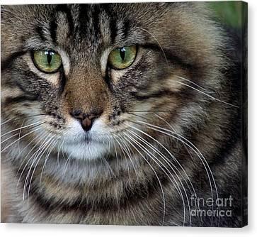 Maine Coon Cat Portrait Canvas Print by Jai Johnson