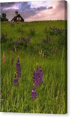 Maine Lupines And Home After Rain And Storm Canvas Print