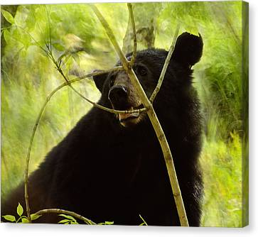 Majestic Black Bear Canvas Print by TnBackroadsPhotos