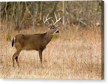 Majestic Buck Canvas Print by Timothy McIntyre