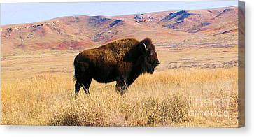 Majestic Buffalo In Kansas Canvas Print