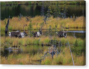 Majestic Caribou  Canvas Print by Sam Amato