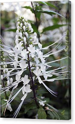 Majestic Cat Whisker's Canvas Print by Picture tHis Imagination