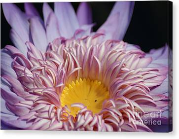 Majestic Foxfire Water Lily...   # Canvas Print
