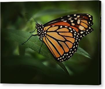 Majestic Monarch Canvas Print by Marie Leslie