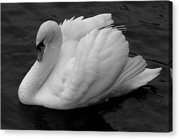 Majestic Mute Swan Canvas Print by Pierre Leclerc Photography