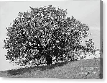 Majestic Oak Canvas Print by Suzette Kallen