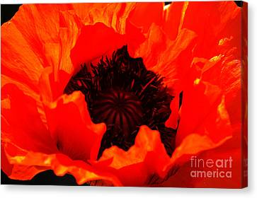 Majestic Poppy Canvas Print by Stephen Melia
