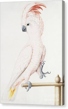 Major Mitchell's Cockatoo Canvas Print by Nicolas Robert