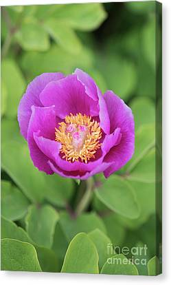 Majorcan Peony Canvas Print by Tim Gainey