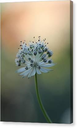 Botanica .. Make A Wish  Canvas Print