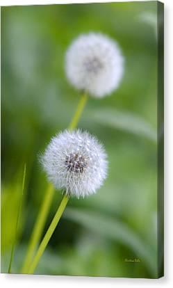 Make A Wish Dandelion Canvas Print by Christina Rollo