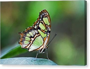 Malachite Butterfly Canvas Print by Cheryl Cencich